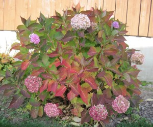 Hydrangea Foliage(1)