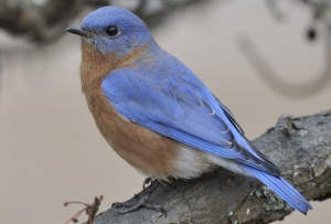 Eastern bluebird; credit: Bill Thompson/USFWS