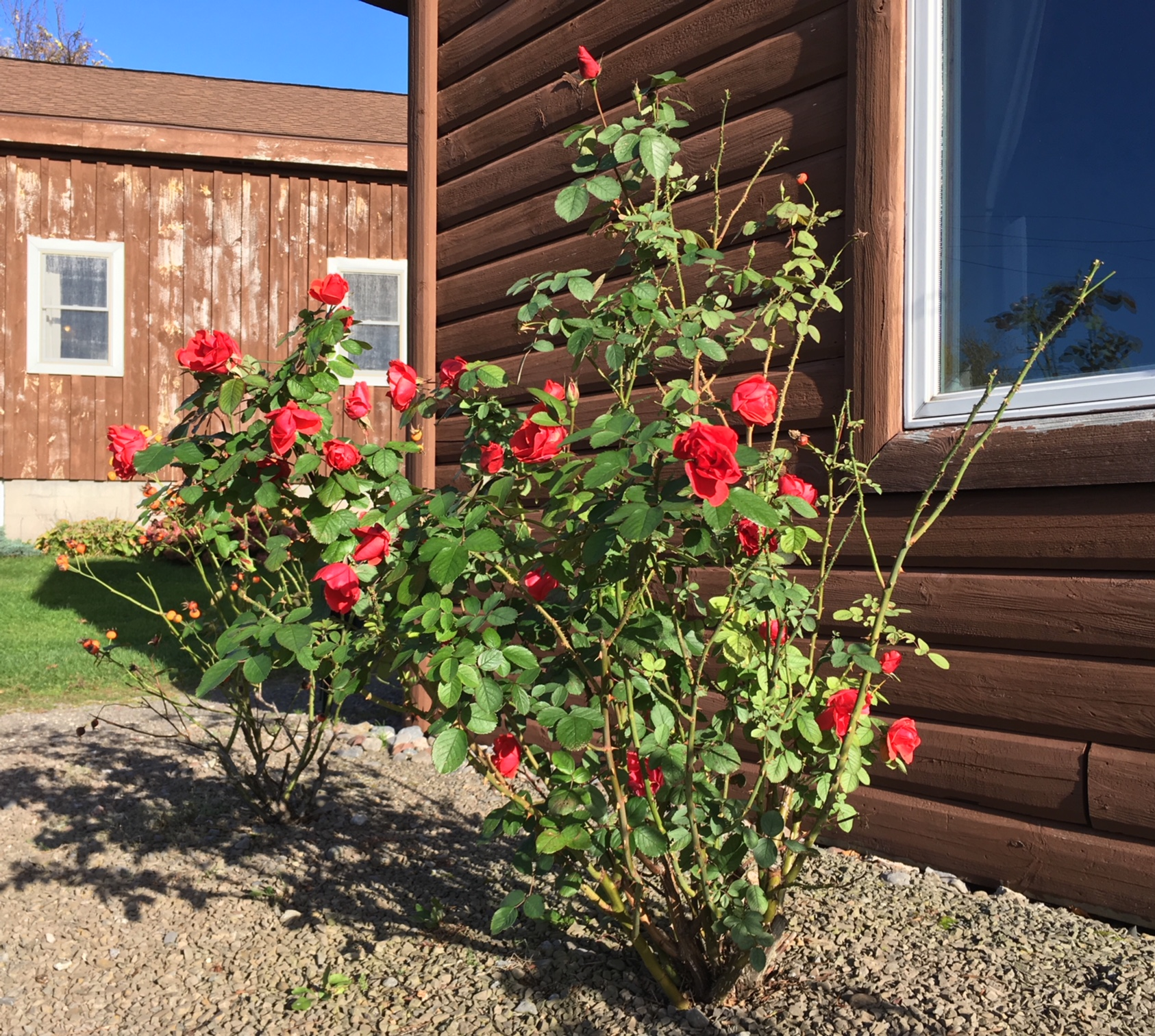 Brilliant October blossoms on the Bush Roses